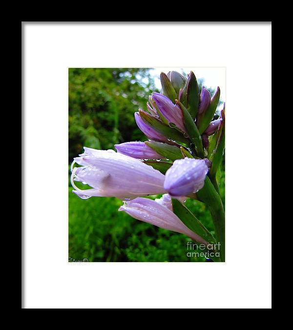 Hosta Framed Print featuring the photograph After The Rain by September Stone