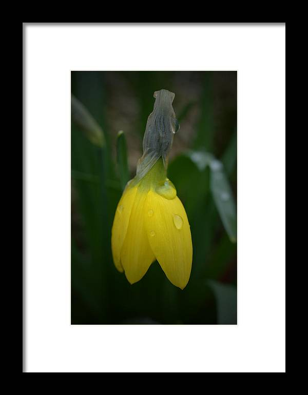 Daffodil Framed Print featuring the photograph After The Rain - Yellow Daffodil 2 by Richard Andrews