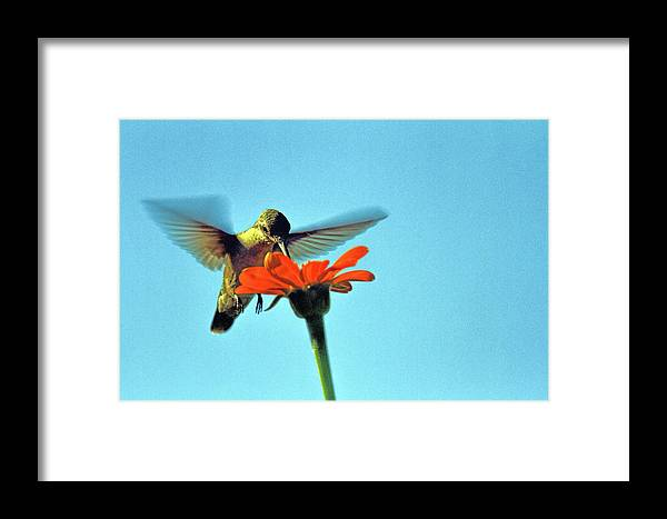 Recent Framed Print featuring the photograph Afternoon Snack by Geraldine Scull