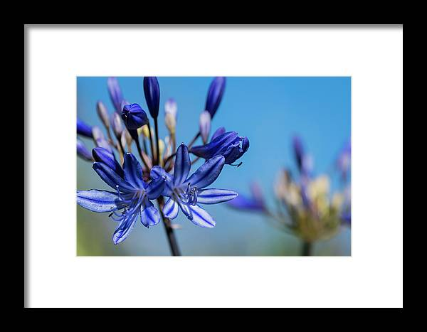 Agapanthus Framed Print featuring the photograph Agapanthus by Robert Potts