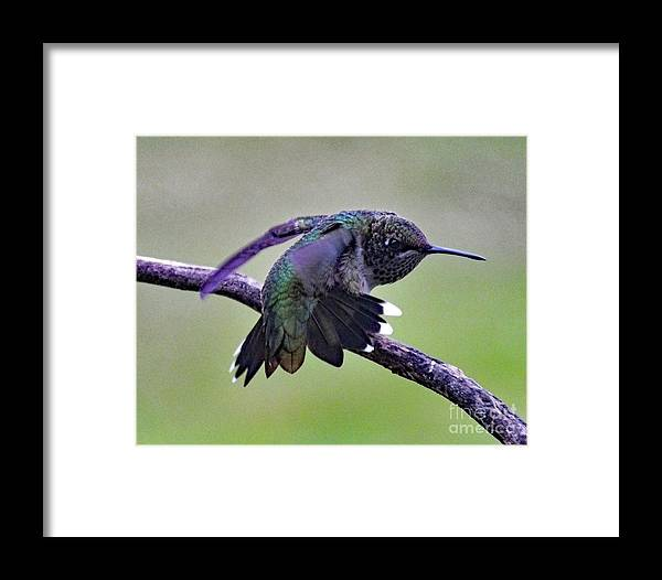 Hummingbird Photo Framed Print featuring the photograph Aggressive Behavior - Ruby-throated Hummingbird by Cindy Treger
