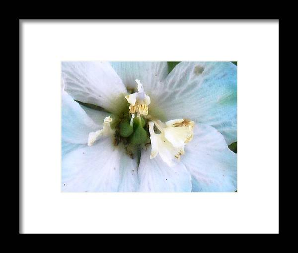 Aging Flower Framed Print featuring the photograph Aging Blossom by Ward Smith
