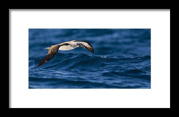 Seabirds Framed Print featuring the photograph Albatross Of The Deep Blue by Basie Van Zyl