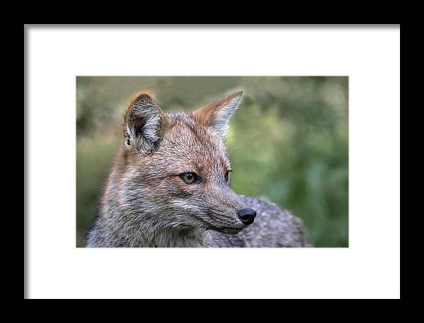 Argentina Framed Print featuring the photograph Alert Fox by Don Henderson