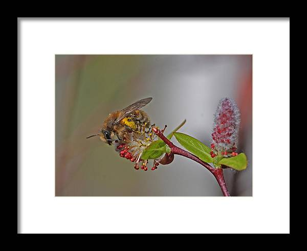 Alfalfa Bee Framed Print featuring the photograph Alfalfa Bee by Gary Wing