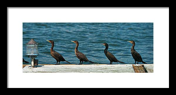 Cormorant Framed Print featuring the photograph All In A Row by Christopher Holmes