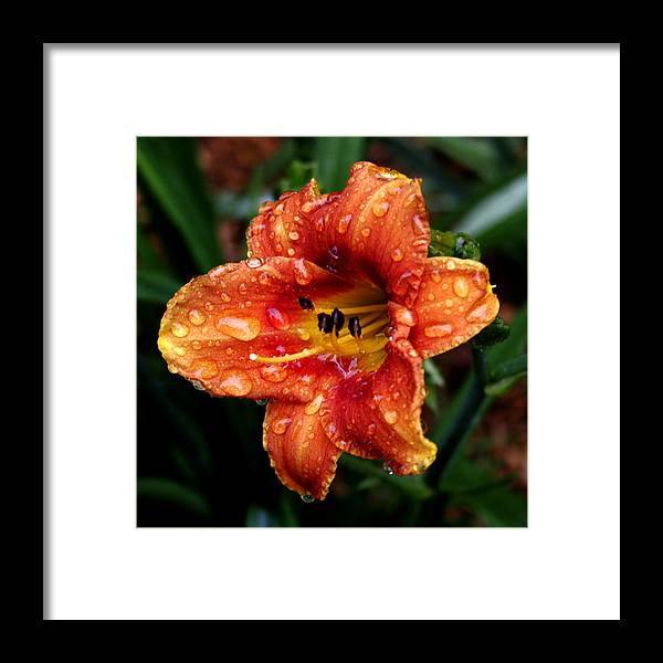 Lily Framed Print featuring the photograph All Wet Lily by Paul Anderson