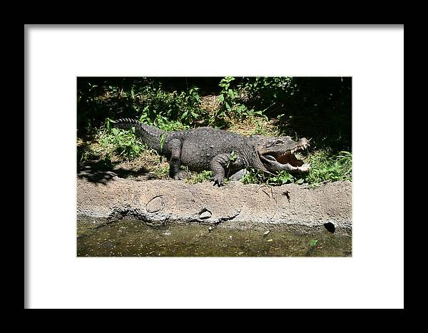 Alligator Framed Print featuring the photograph Alligator Surprise by Lynn Michelle
