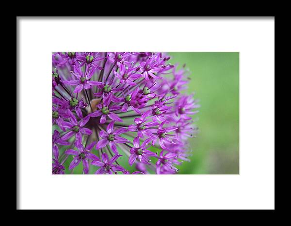 Flower Framed Print featuring the photograph Allium by Allison Nance