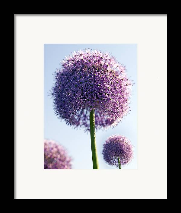 Allium Framed Print featuring the photograph Allium Flower by Tony Cordoza