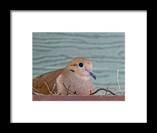 Birds Framed Print featuring the photograph Almost A Mother by Diana Hatcher