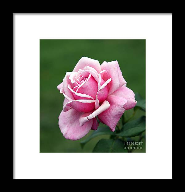 Rose Framed Print featuring the photograph Alone Time by Amanda Barcon