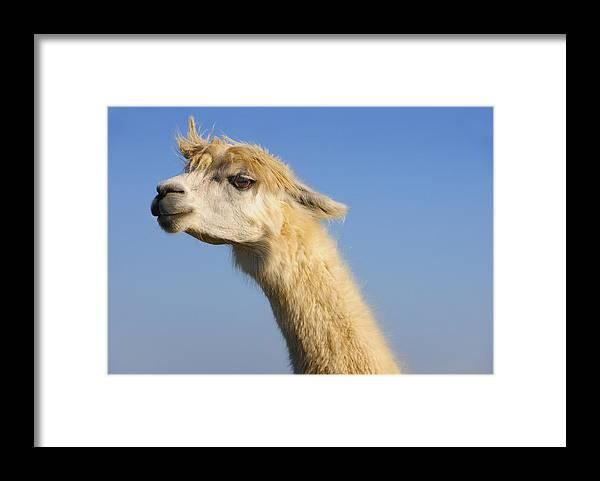 Skip Hunt Framed Print featuring the photograph Alpaca by Skip Hunt
