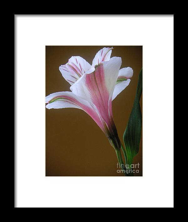 Nature Framed Print featuring the photograph Alstroemeria - Reaching by Lucyna A M Green