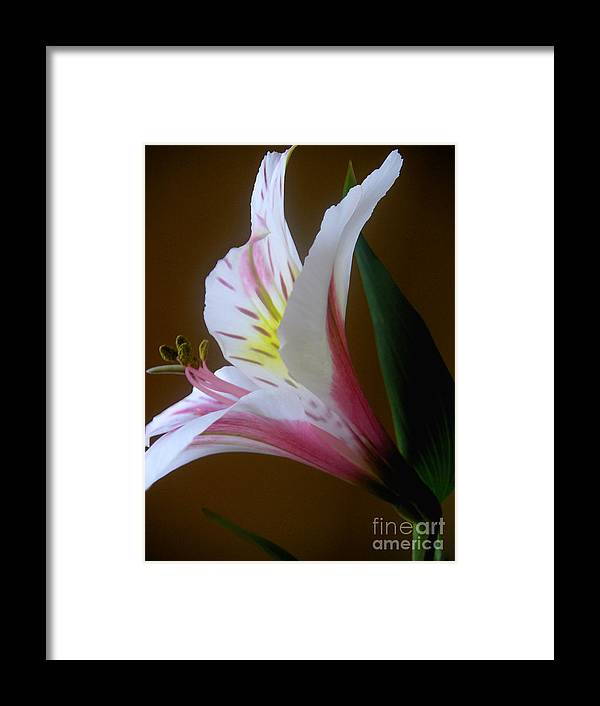 Nature Framed Print featuring the photograph Alstroemeria - Responding by Lucyna A M Green