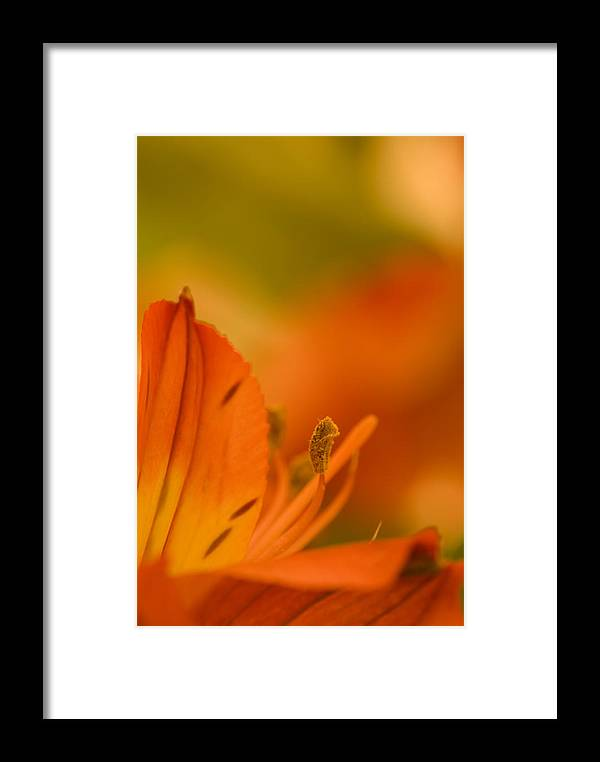 Flower Framed Print featuring the photograph Alstroemeria I by Andreas Freund
