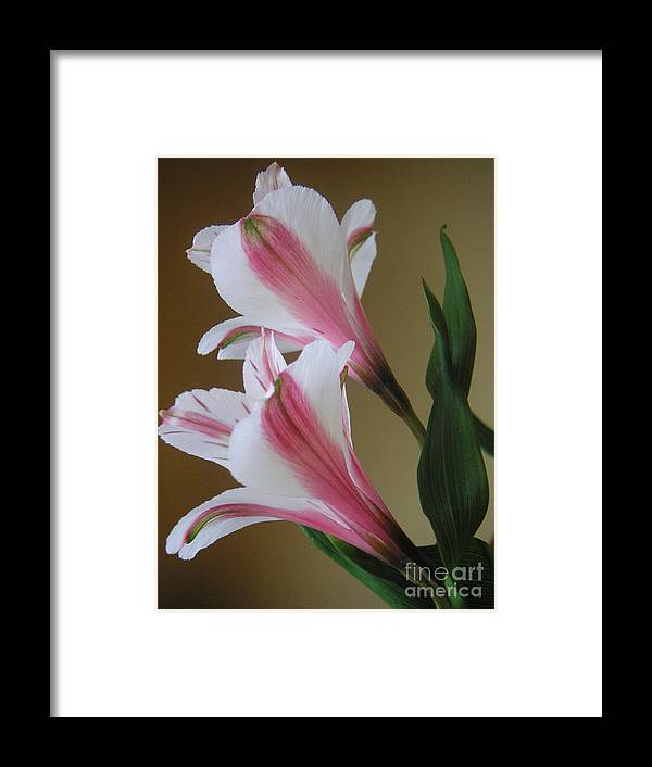 Nature Framed Print featuring the photograph Alstroemerias - Doubled by Lucyna A M Green