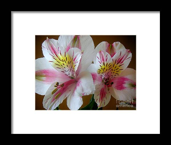 Nature Framed Print featuring the photograph Alstroemerias - Heralding by Lucyna A M Green