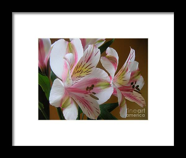 Nature Framed Print featuring the photograph Alstroemerias - Listening by Lucyna A M Green