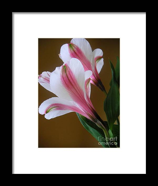 Nature Framed Print featuring the photograph Alstroemerias - Together by Lucyna A M Green