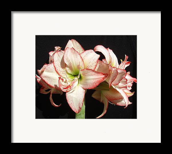 Floral Framed Print featuring the photograph Amaryllis Group by Frederic Kohli