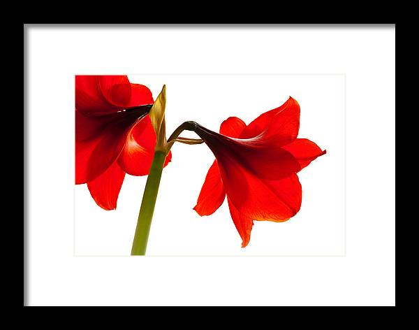 Amaryllis Framed Print featuring the photograph Amaryllis On White by Philip Flowers