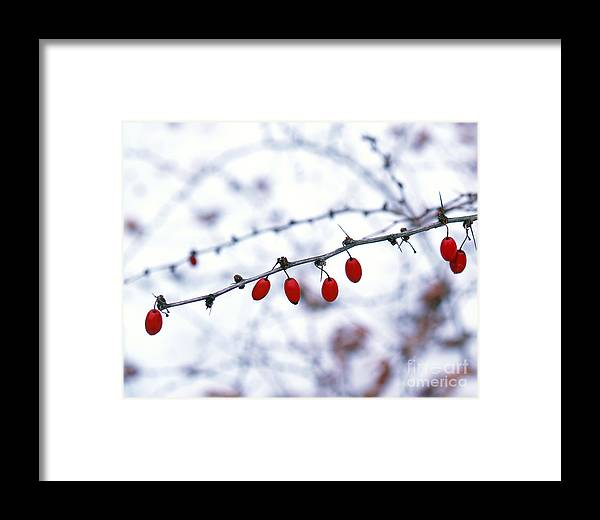 Barberry Framed Print featuring the photograph American Barberry In Snow by Anna Lisa Yoder
