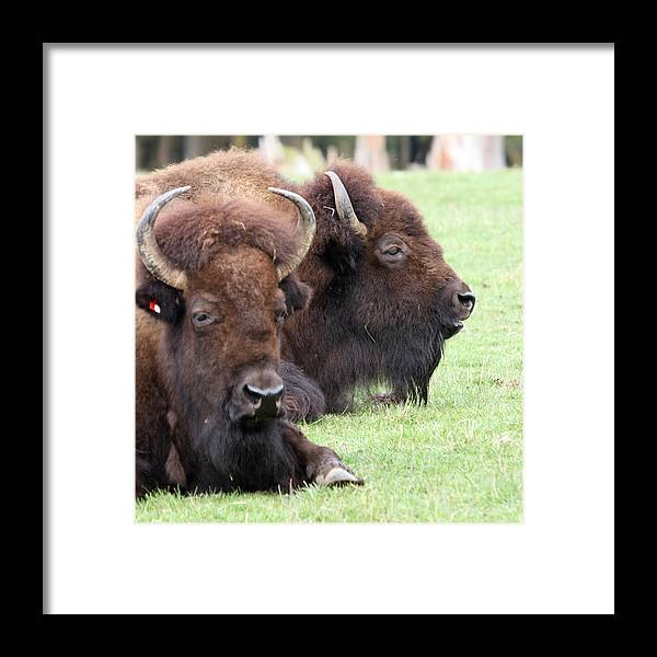 Northwest Trek Framed Print featuring the photograph American Bison - Buffalo - 0011 by S and S Photo