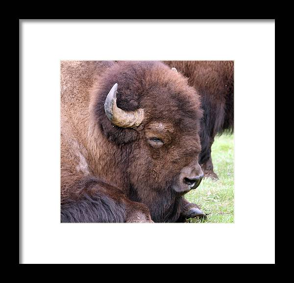 Northwest Trek Framed Print featuring the photograph American Bison - Buffalo - 0012 by S and S Photo