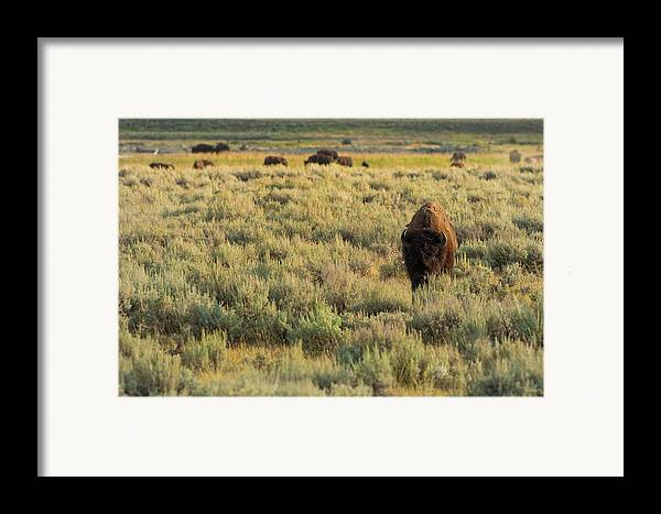 American Bison Framed Print featuring the photograph American Bison by Sebastian Musial