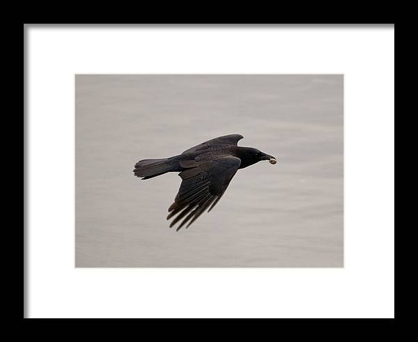 Photography Framed Print featuring the photograph American Crow by Joel Brady-Power