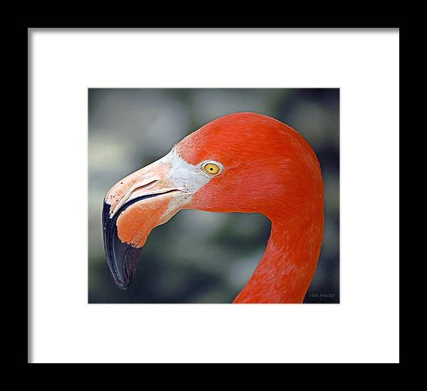 Flamingo Framed Print featuring the photograph American Flamingo by Donna Proctor