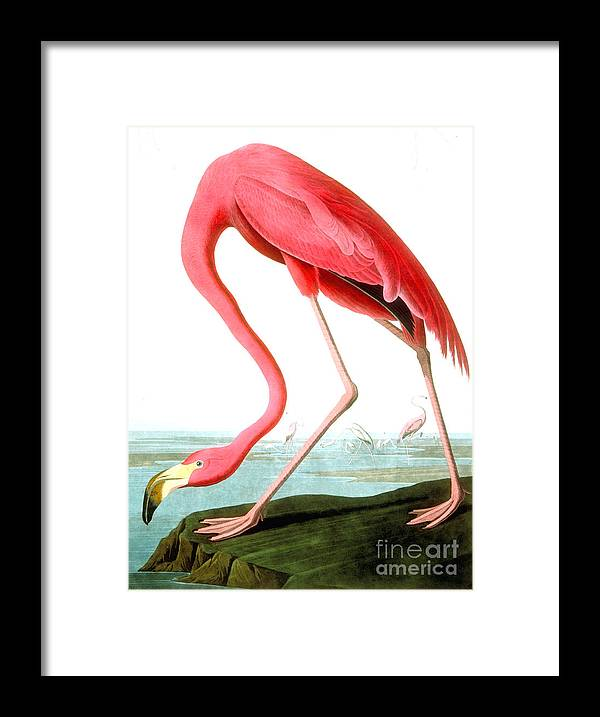Bird Framed Print featuring the painting American Flamingo by John James Audubon