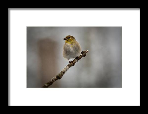 American Framed Print featuring the photograph American Golden Finch Winter Plumage by Douglas Barnett