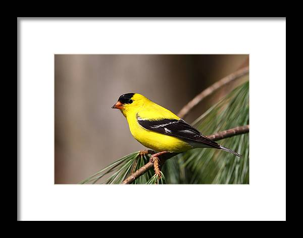Goldfinch Framed Print featuring the photograph American Goldfinch by Bruce J Robinson