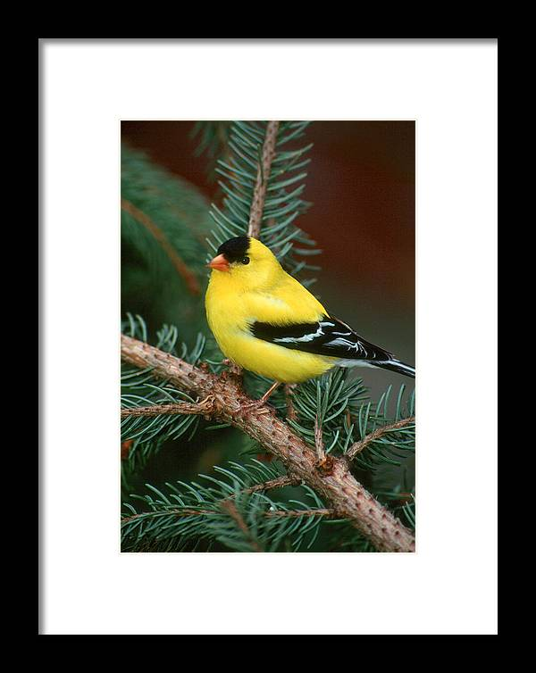 Bird Framed Print featuring the photograph American Goldfinch by Raju Alagawadi