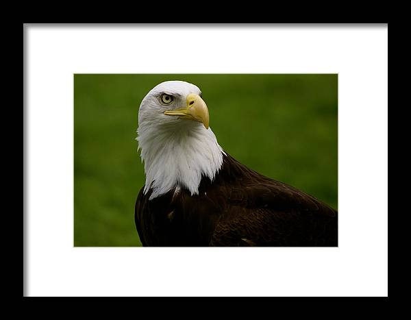 Zoo Framed Print featuring the photograph American Heritage by Sonja Anderson