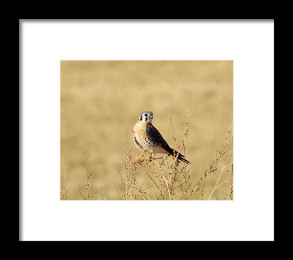 Bird Framed Print featuring the photograph American Kestral by Jeff Swan