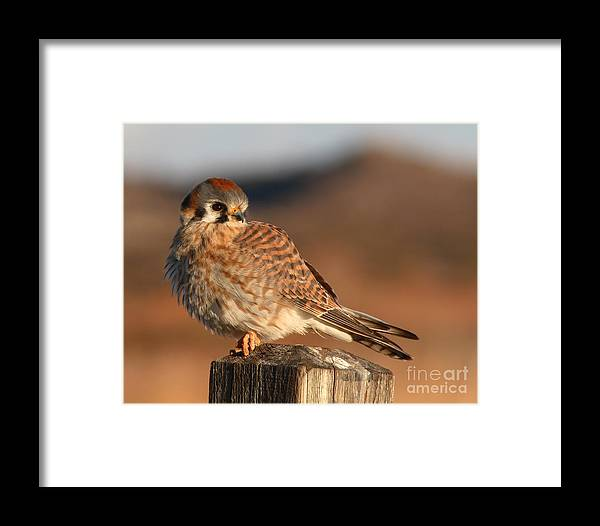 Kestrel Framed Print featuring the photograph American Kestrel Giving Hunting Stare by Max Allen
