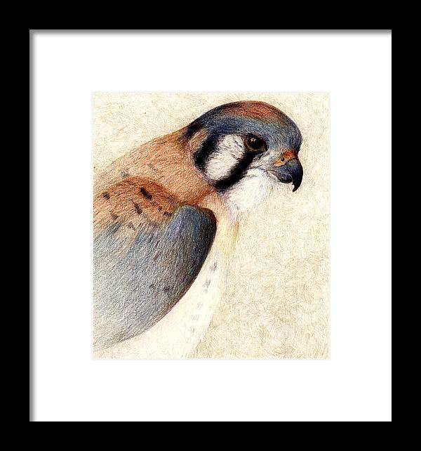 Bird Framed Print featuring the drawing American Kestrel by Kirsten Carlson