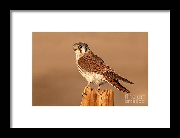 Kestrel Framed Print featuring the photograph American Kestrel Surveying The Surroundings by Max Allen