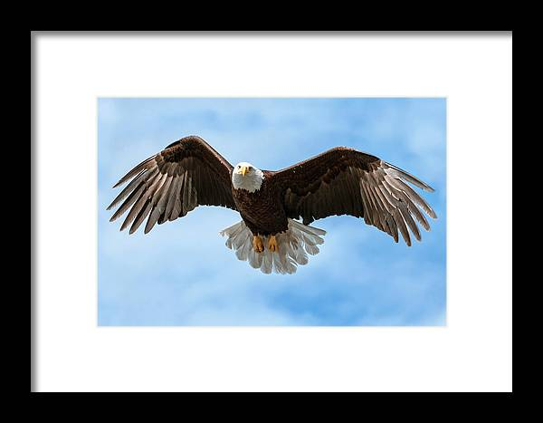 Eagle Framed Print featuring the photograph American National Symbol Bald Eagle With Wings Spread by Open Range