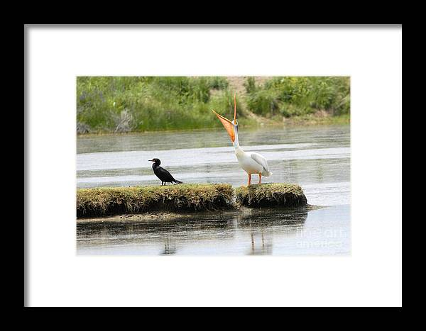 Bird Framed Print featuring the photograph American Pelican With Cormorant by Dennis Hammer