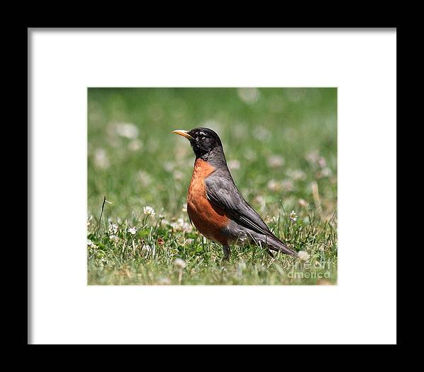 Texture Framed Print featuring the photograph American Robin by Wingsdomain Art and Photography