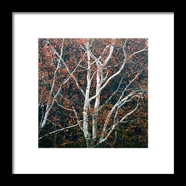 American Framed Print featuring the photograph American Sycamore # 2 by Jacob Cane