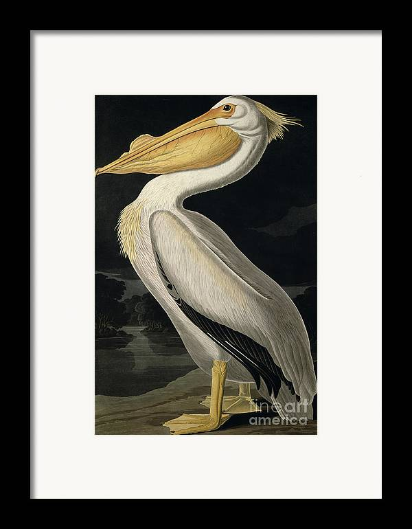 American White Pelican Framed Print featuring the painting American White Pelican by John James Audubon