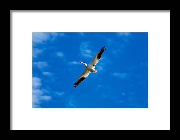 American Framed Print featuring the photograph American White Pelican by Marilyn Hunt