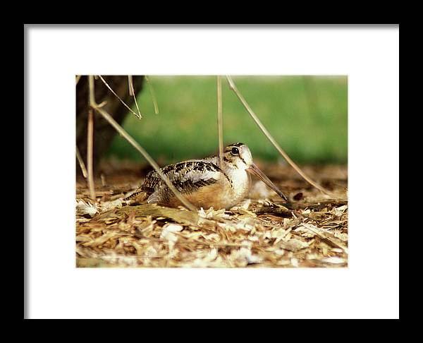 Wildlife Framed Print featuring the photograph American Woodcock by John Burk