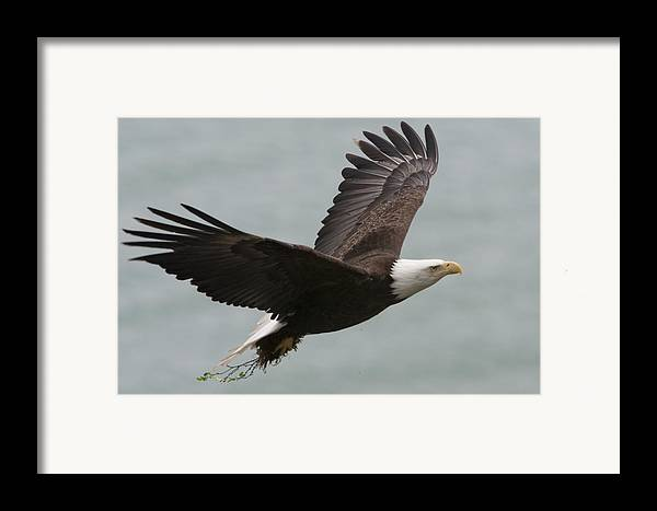 Day Framed Print featuring the photograph An American Bald Eagle Soaring by Roy Toft