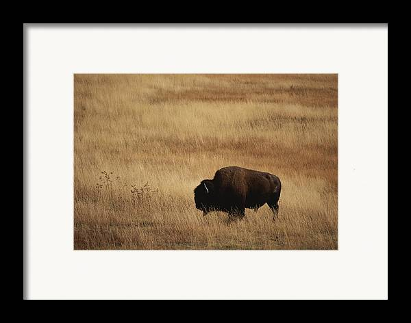 Bison Bison Framed Print featuring the photograph An American Bision In Golden Grassland by Michael Melford